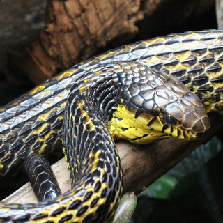 A large adult male puffing snake. Captive born in 2007.