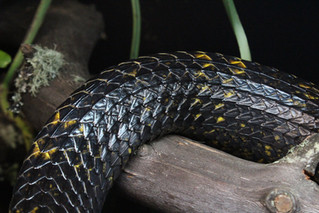 Determining sex of puffing snakes.