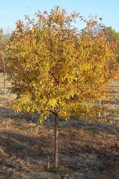 Golden Raindrops Tree