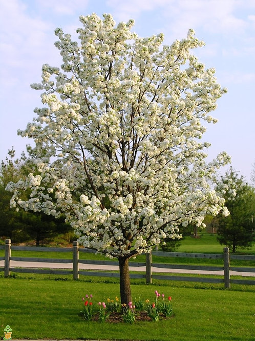 Cleveland Pear Tree