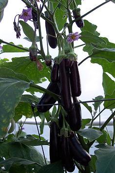 aubergines hydro.jpg