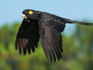 Yellow Tailed Black Cockatoos - A Diamond Beach Bird Watching Favourite