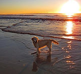 Golden Retriever on Diamond Beach