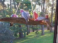 Pink Cockatoos at Sea Horse Diamond Beach