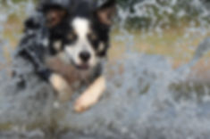 Border collie leaping through water.jpg