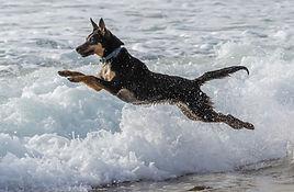 Kelpie leaping.JPG