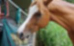 Arabian horse eating hay - Sea Horse Diamond Beach