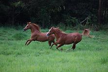 Arabian horses galloping in Sea Horse Diamond Beach paddock