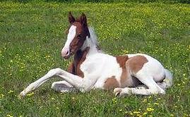 Pinto foal.jpg