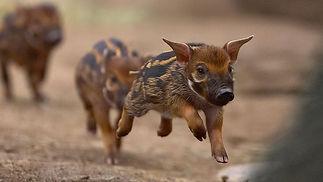 hero_wild_swine_animals.jpg