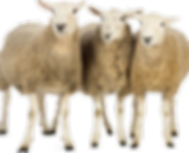 Group-of-Three-Sheeps-500x392.png