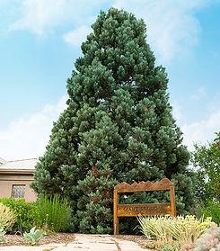Giant Sequoia web.jpg