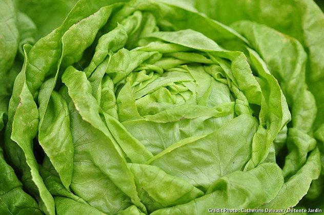 Salade laitue | Provence | 1 pièce