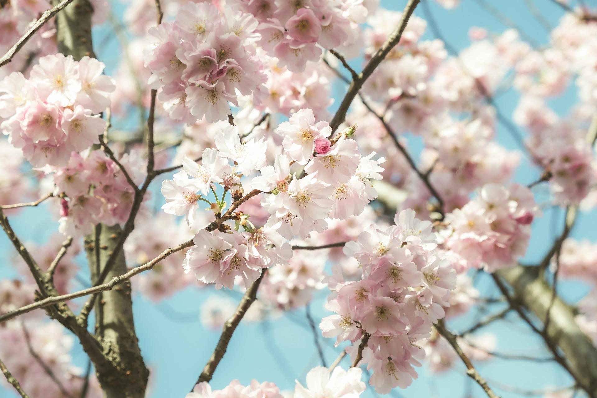 japanese-cherry-5002847_1920
