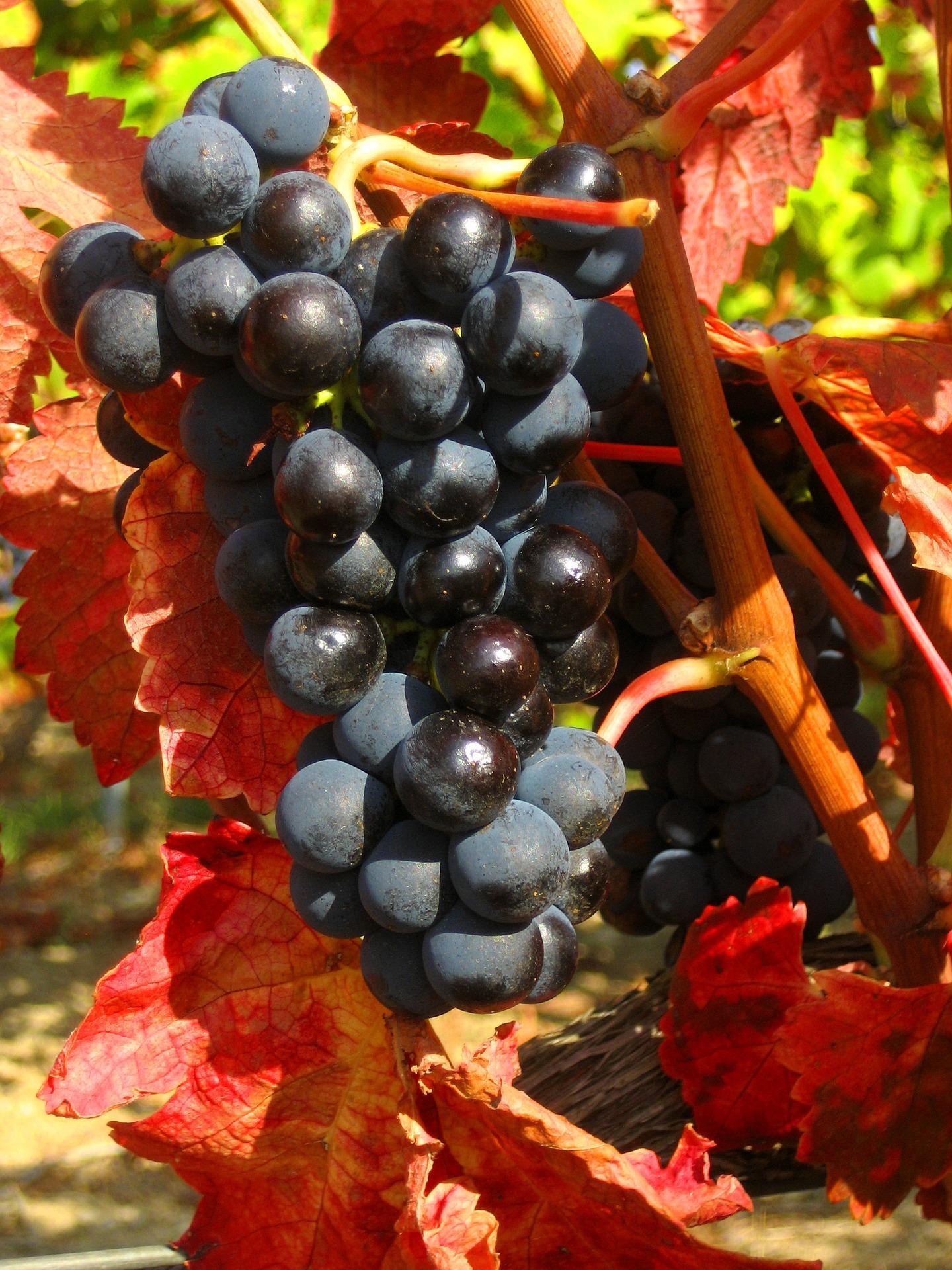 grapes-1041559_1920
