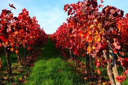 vineyard-4590114_1920