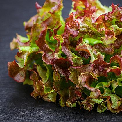 Salade chêne rouge | Provence | 1 pièce