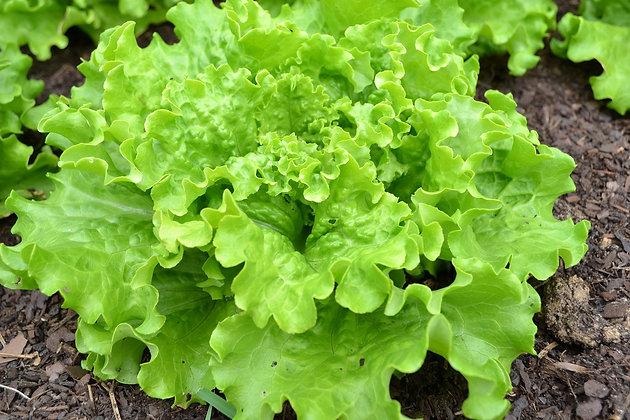 Salade batavia | Provence | 1 pièce