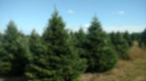 christmas trees osseo wi