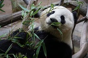 animal-bamboo-close-up-1123765 (1).jpg