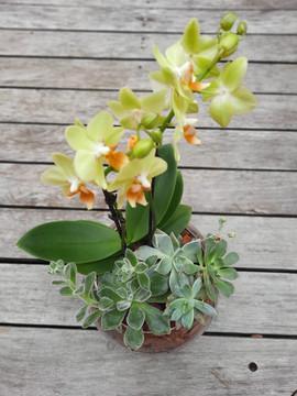 Orquídea com Suculentas
