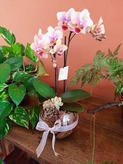 Orquídea com Suculenta - P