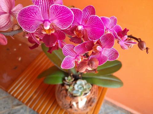 Orquídea com Suculentas - M