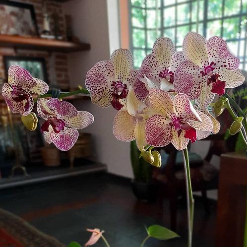 Orquídea com Suculentas - GG