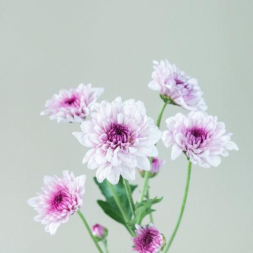 Chrysanthemum - Light Pink