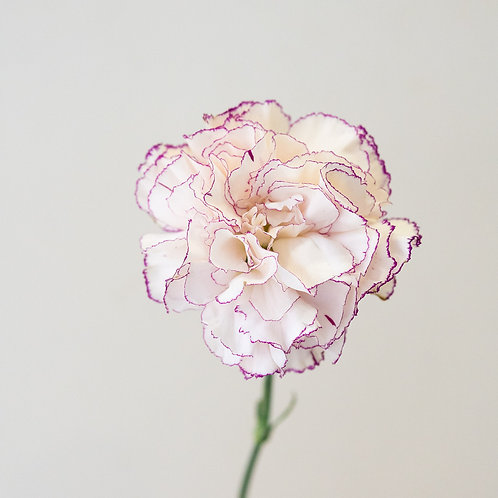 Carnation - Duotone White