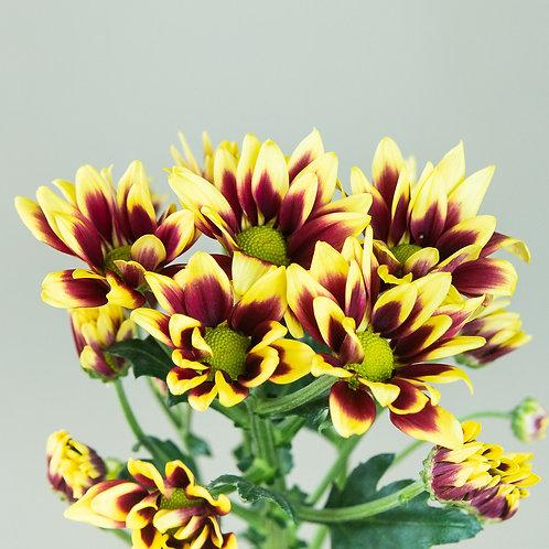 Chrysanthemum - Duotone Yellow