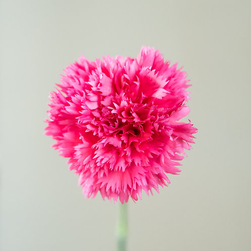 Carnation - Monotone Bright Pink