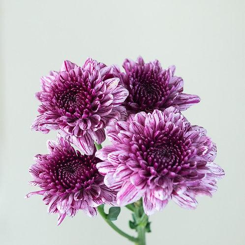 Chrysanthemum - Pink