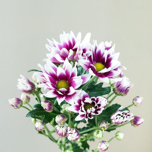 Chrysanthemum - Duotone Pink