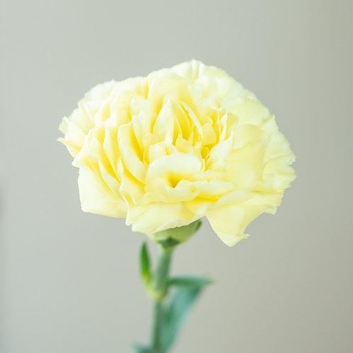 Carnation - Monotone Yellow