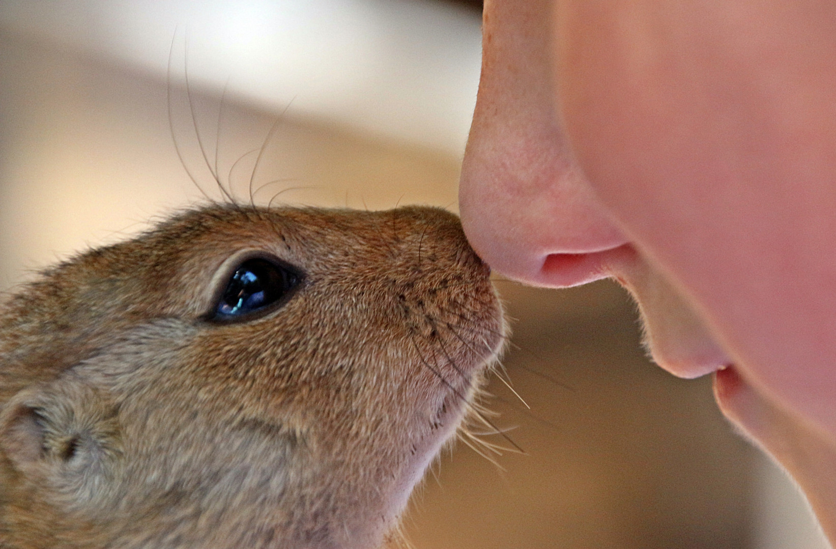 Rat and human kissing noses