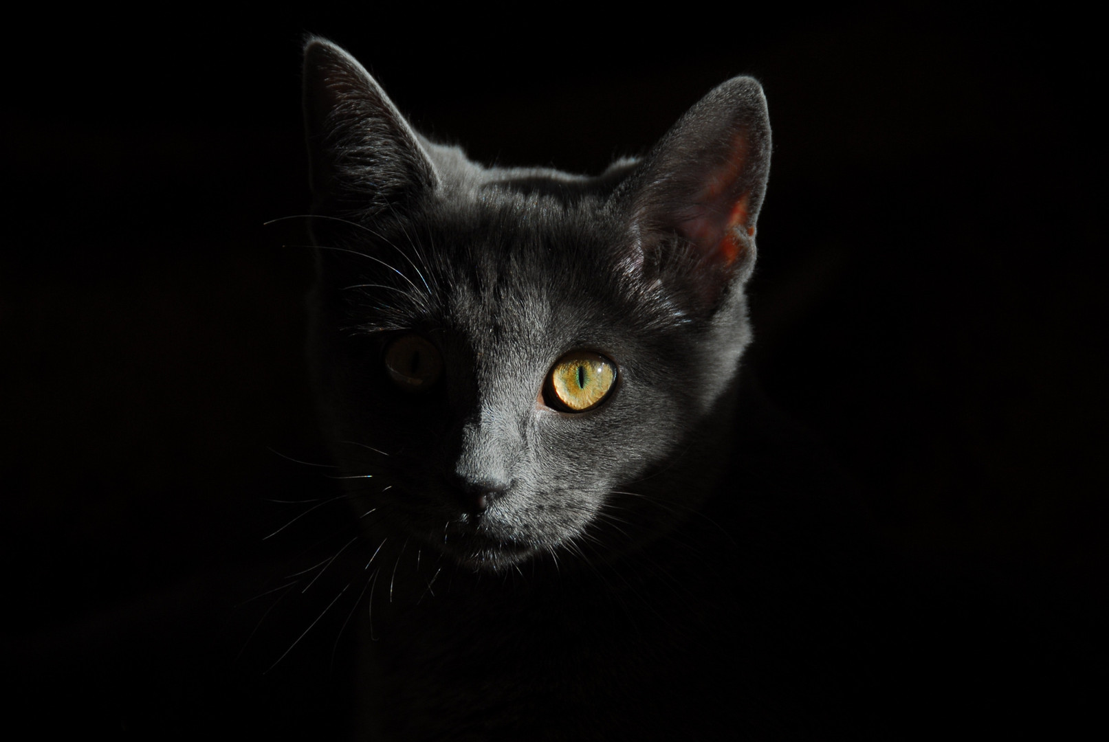 Head of Grey Cat