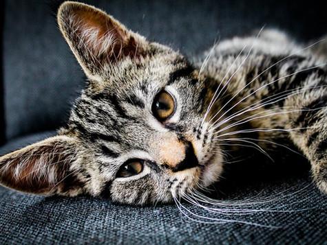 Striped Cat.jpg