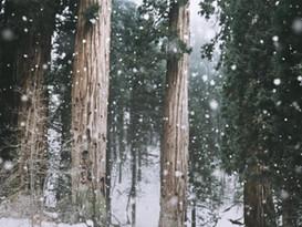 Old Growth Cedar Grove