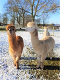 gorgeous alpacas.png