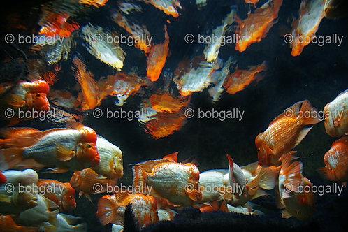 Abstract Gold Fish