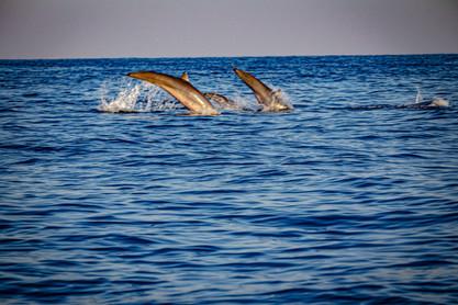 Lovina Dolphin Watching