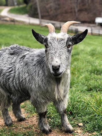 pet goat steve