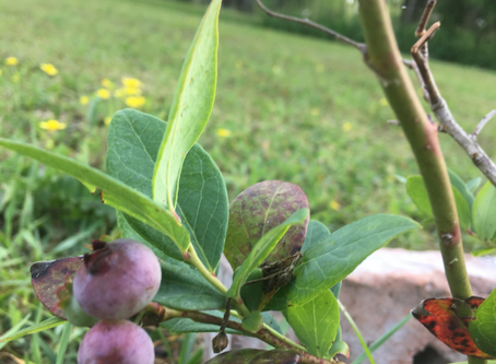 We'd like to welcome blueberries to Lytle Farms