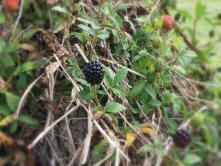 Blackberries!  yum