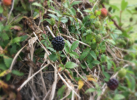 Blackberries!  yum