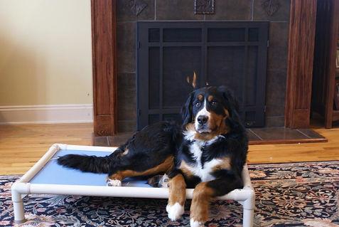bernese-mountain-dog-posing-on-his-kuran