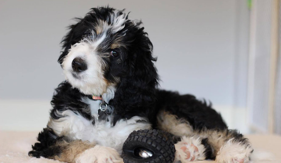 Bernedoodle Puppies for sale|Great Lakes Bernedoodles|Michigan
