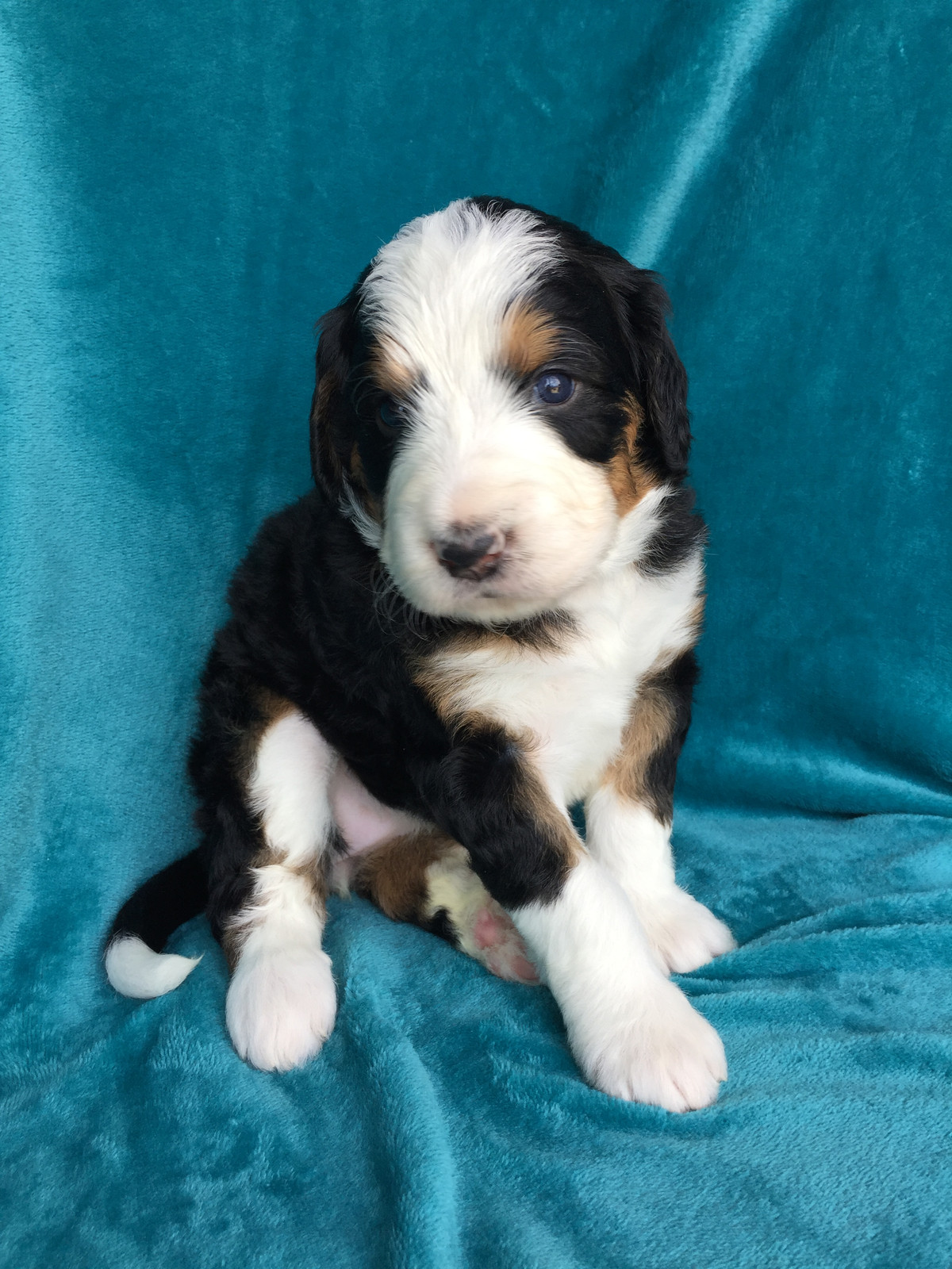 Fullscreen Page Bernedoodle Puppies For Salegreat Lakes