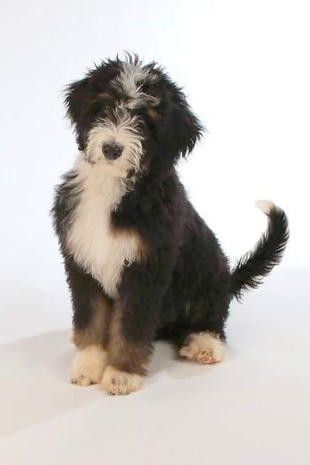 tri, phantom, bernedoodle puppies for sale, bernedoodle puppies for sale in Michigan, bernese mountain dog, poodle, bernedoodle, goldendoodle, labradoodle